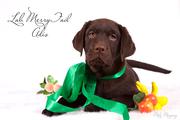 Лабрадор. Шоколадные щенки