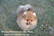 Элитные щенки карликового померанского шпица SHOW-Classa! мишки BOO!!!