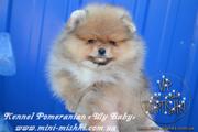 Элитные щенки карликового померанского шпица от питомника «My Baby»