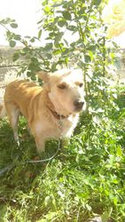 умная собака для хороших людей и охраны двора в Алматы