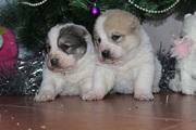Отличные щенки Алабая