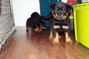 Зарегистрированные щенки ротвейлера на продажу